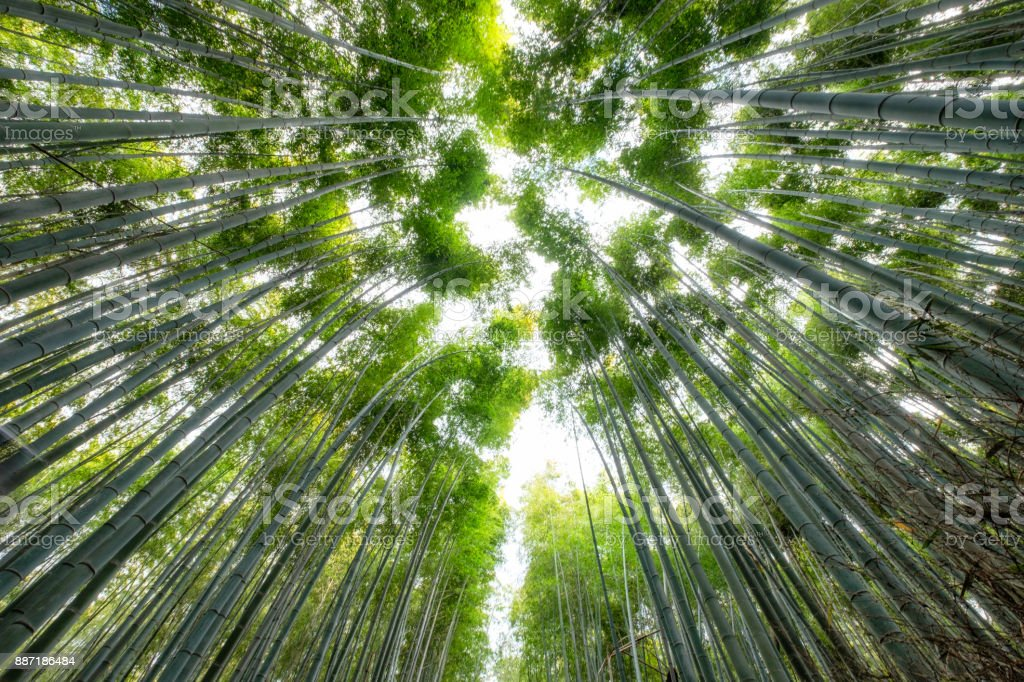 Green Bamboo grove forest with sunlight stock photo