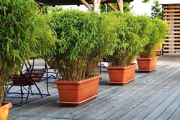 Green bamboo in flowerpots picture id493711326?b=1&k=6&m=493711326&s=612x612&w=0&h=lujnkk7aonjmimvk3iknahuglpzrl7yxzqsgqzt0ioi=