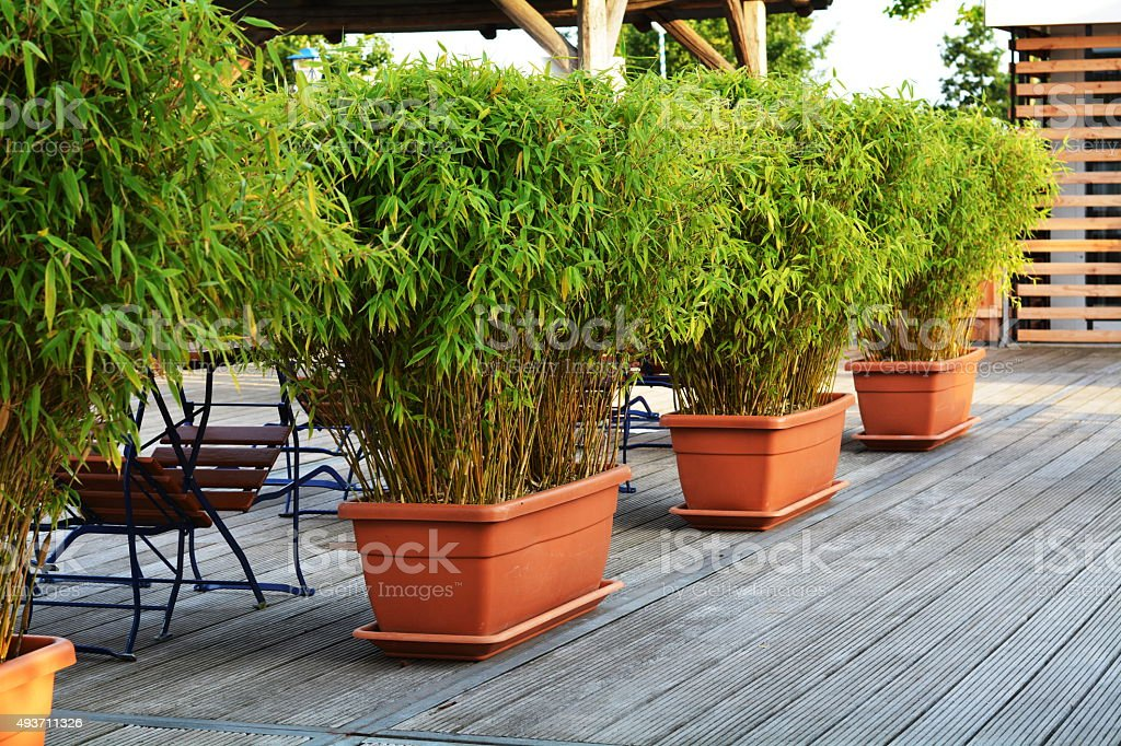 green bamboo in flowerpots stock photo