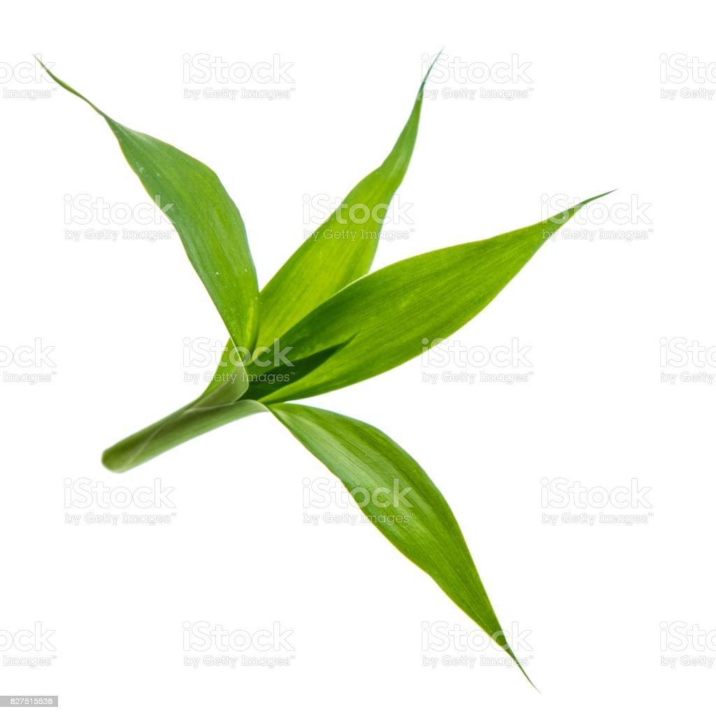 Grüner Bambus isoliert auf weißem Hintergrund – Foto