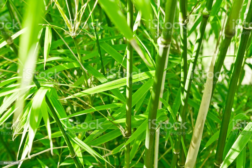 green bamboo jungle nature background stock photo