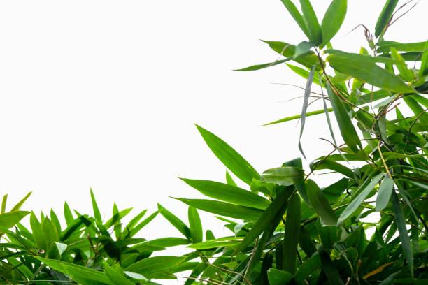Grüner Bambus Blattgrün, tropischer Vegetation Textur isoliert auf weißem Hintergrund Datei mit Beschneidungspfad – Foto