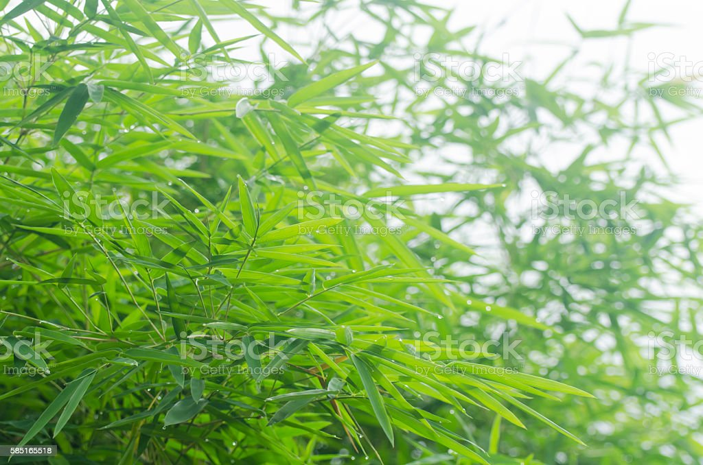 Green bamboo leaves background stock photo