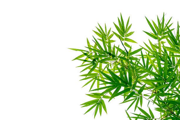 Vert feuilles de bambou sur fond blanc - Photo