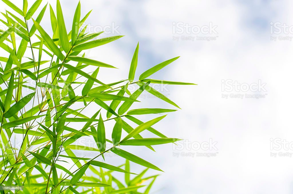 Green bamboo leaves stock photo