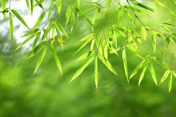 Grünen Bambus-Blätter – Foto