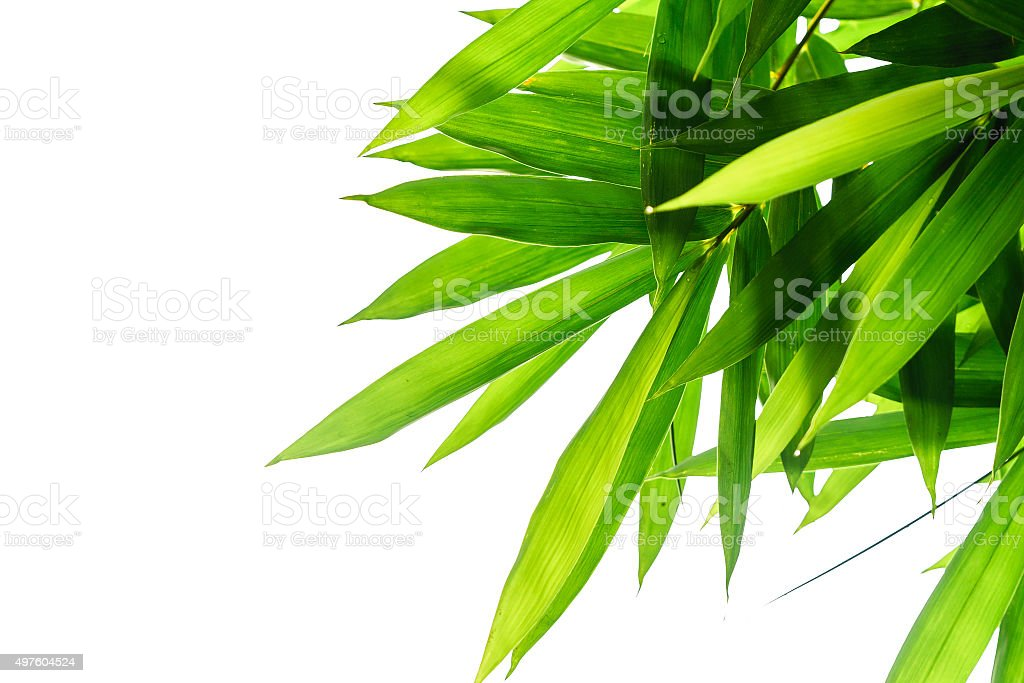 Green bamboo leaves with white background stock photo