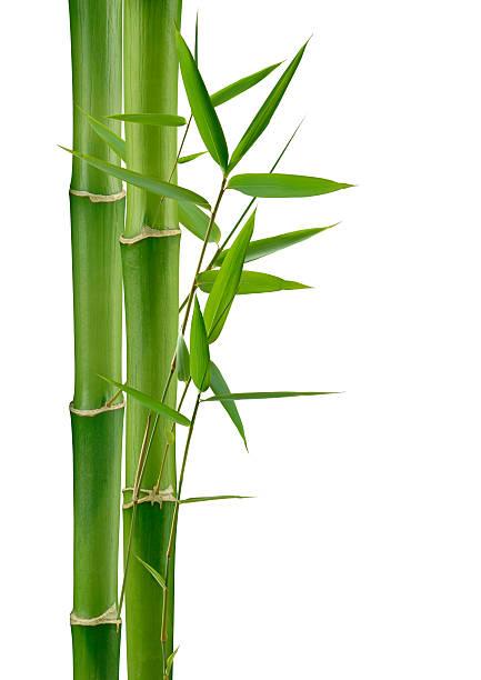 Grüne Bambus – Foto