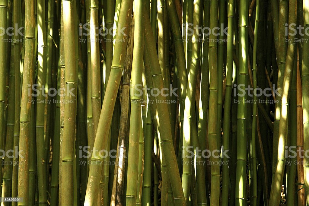 Green Bamboo stalks in the sunlight royalty-free stock photo