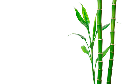 Green bamboo stems and leaves on white background. Banner with copy space
