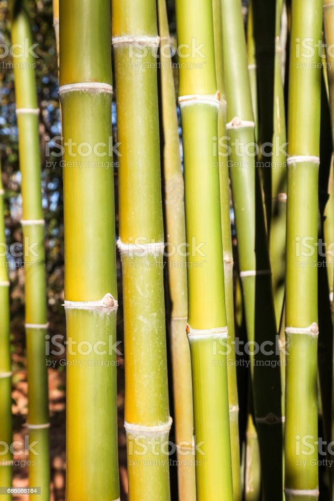 Green bamboo tree in a garden., royalty-free stock photo