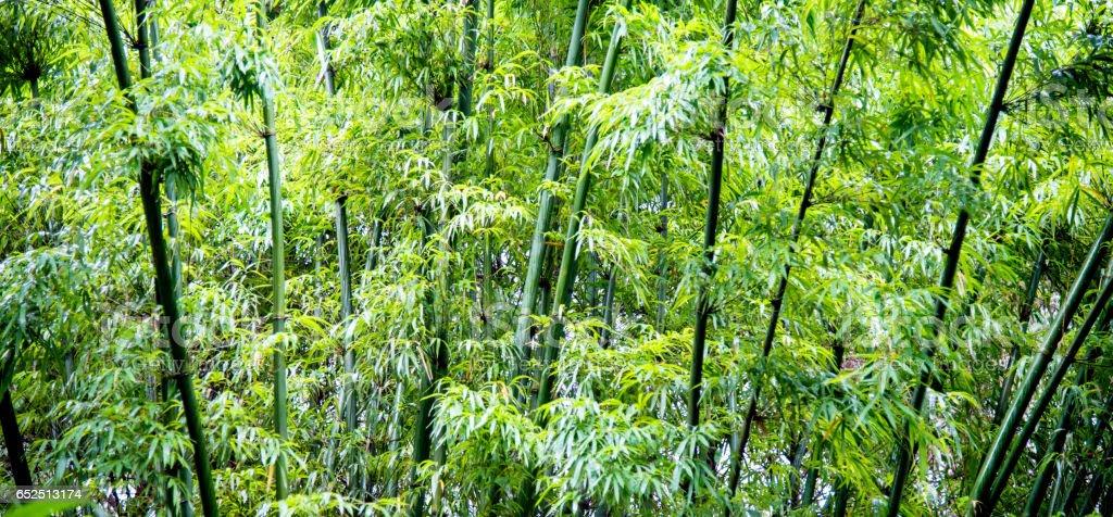 Zielony Bambus drzewa – zdjęcie