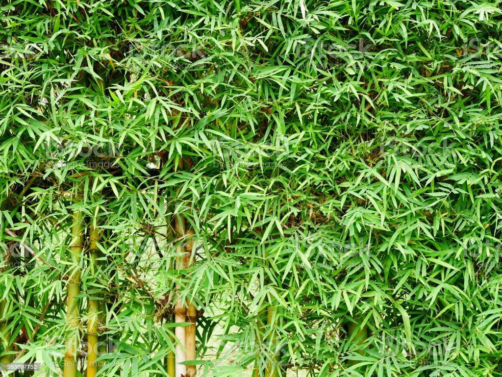 Green bamboo trees stock photo