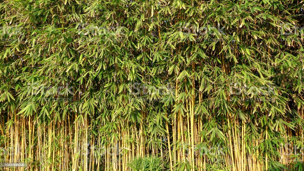 Green Bamboo Wall Plant For Background Texture Stock Photo Download Image Now Istock
