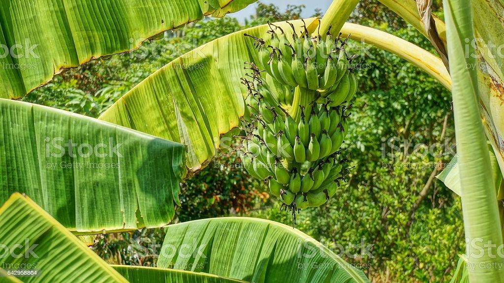 Green banana bunch on the banana tree in Vietnam