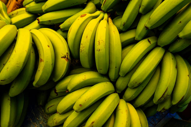 바이오 대량 생산을위한 녹색 바나나 - 플렌틴 바나나 뉴스 사진 이미지