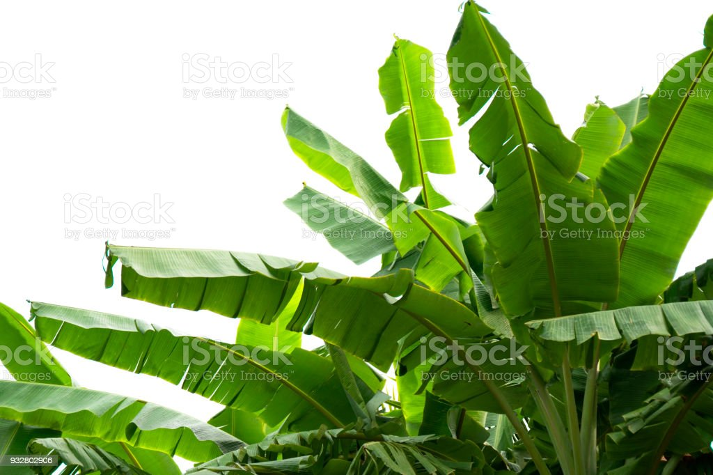 green banana leaf , green tropical foliage texture isolated on white...