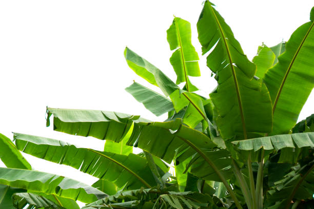 green banana leaf , green tropical foliage texture isolated on white background of file with Clipping Path stock photo