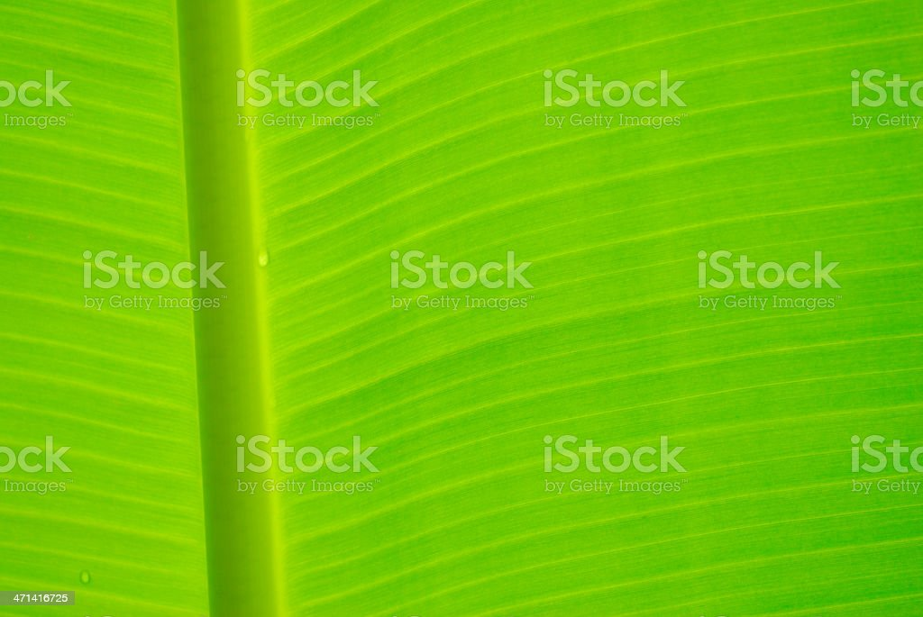 Green banana leaf macro royalty-free stock photo