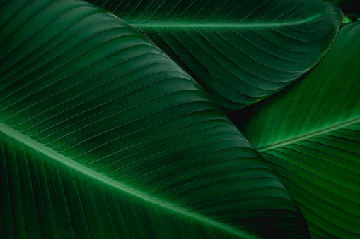 abstract green banana texture, nature background, tropical leaf