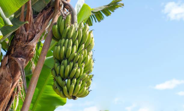 Grüne Bananen hängen Bananenbaum – Foto