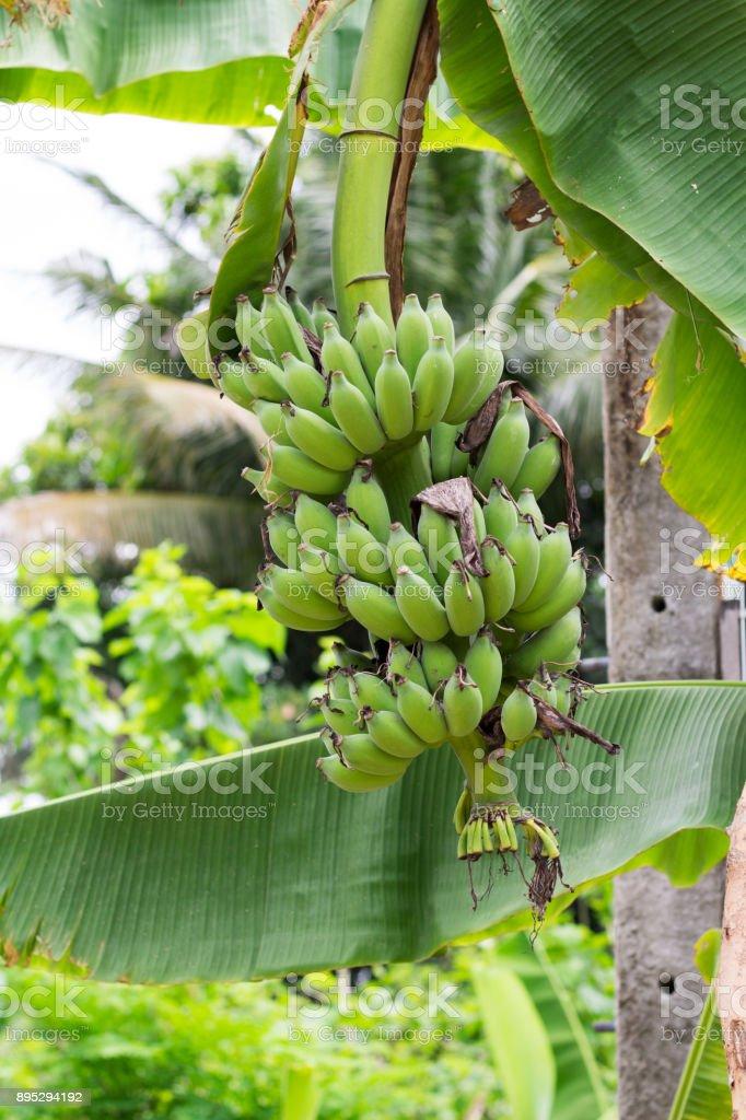 Green Bananas Hanging on Banana Tree