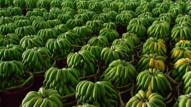 Green bananas in wholesale fresh market stock photo