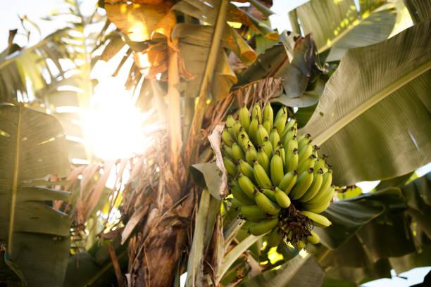 Grüne Bananen auf Bananenbaum – Foto