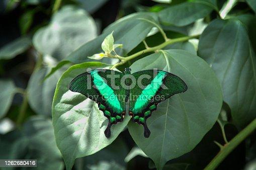 emerald swallowtail butterfly (papilio palinurus) on leaf