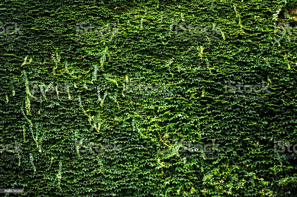 green Banyan leaves covered wall background stock photo