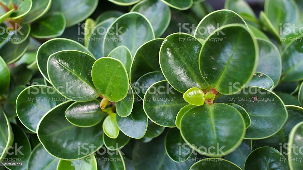 Green Banyan Leaves Lizenzfreies stock-foto