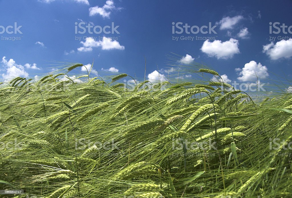 Green Barley / Blue Sky 4 royalty-free stock photo