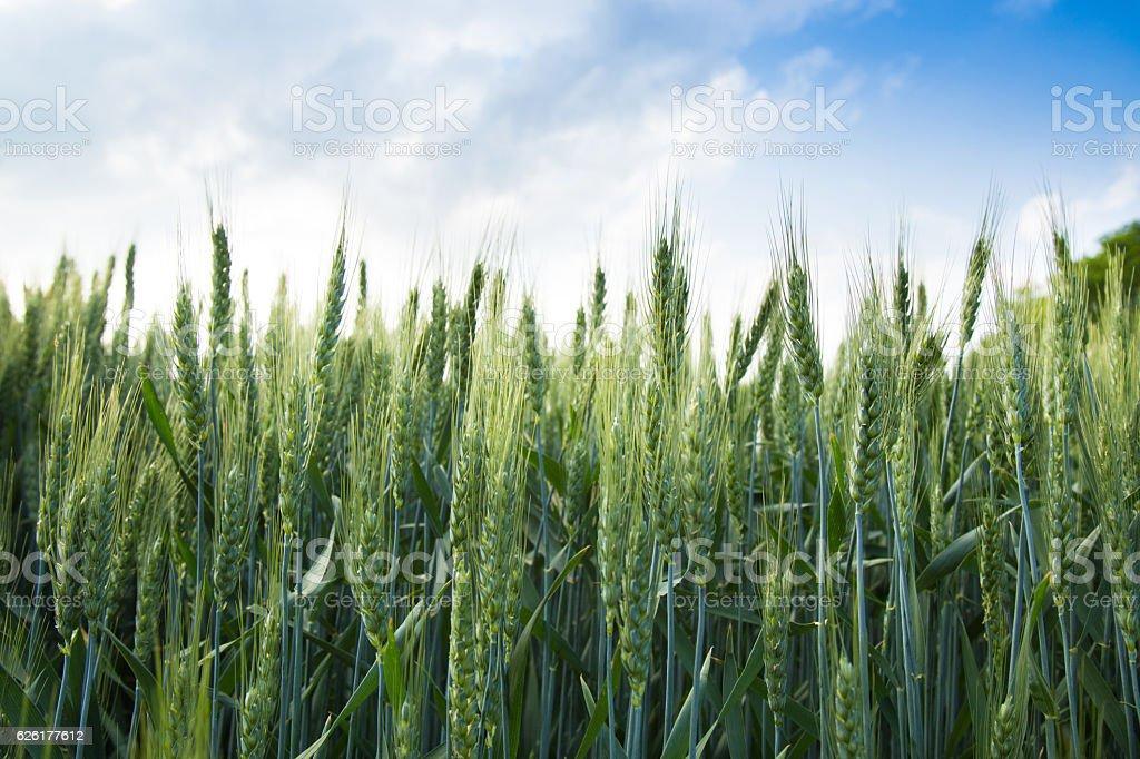 green barley field and sky stock photo