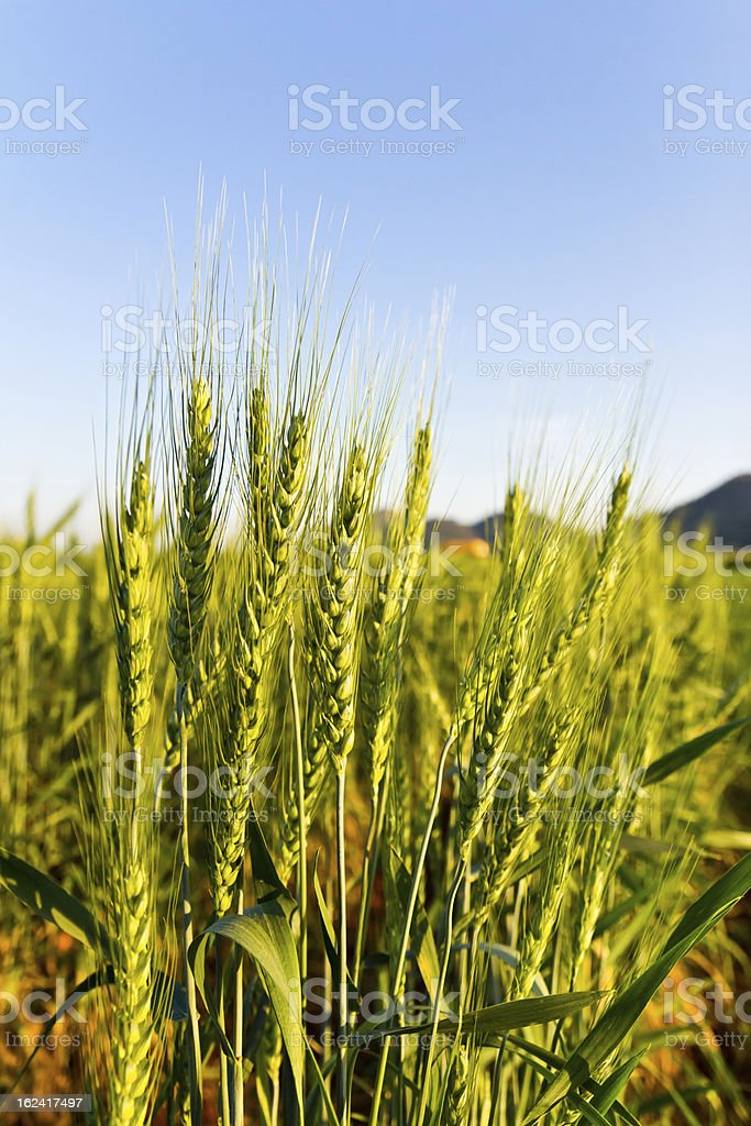 Green barley field on a sunny day royalty-free stock photo
