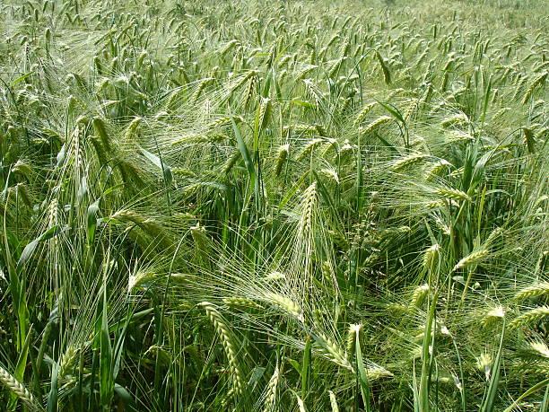 Grüne Gerste field – Foto