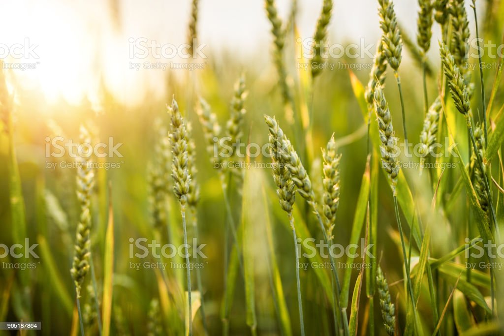 Green barley growing on a field. royalty-free stock photo