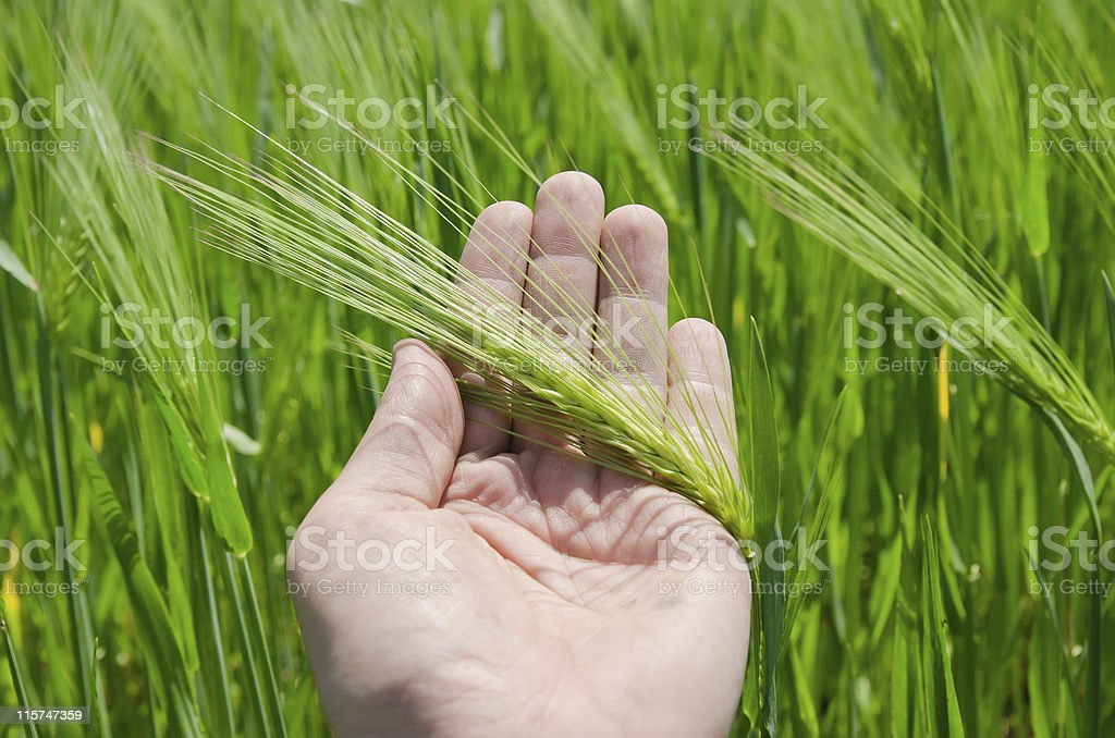 green barley in hand royalty-free stock photo
