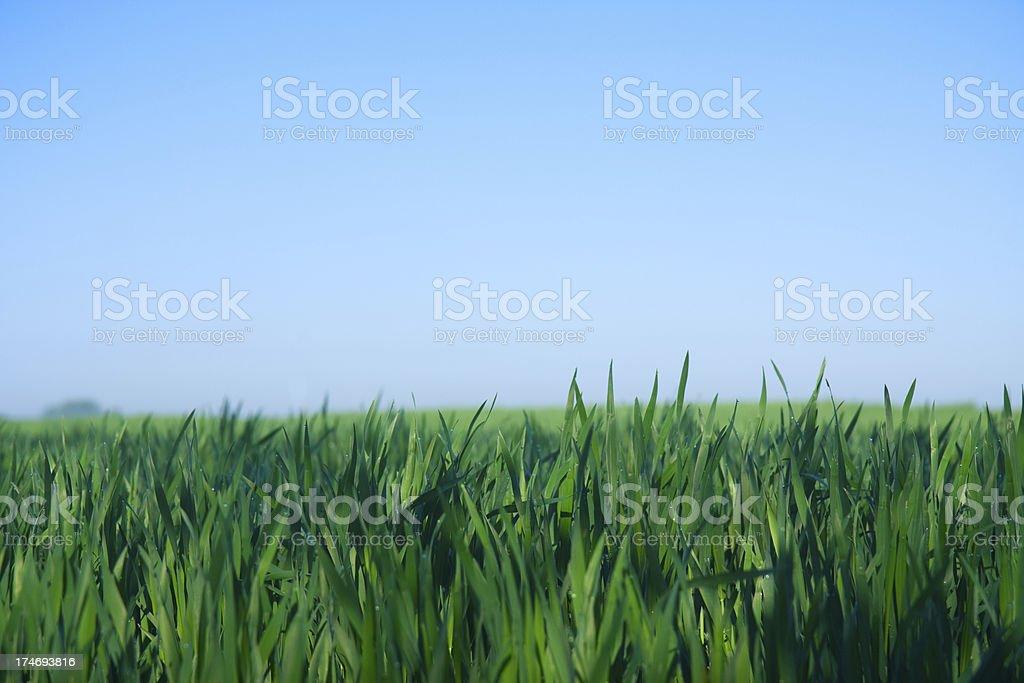 Green barley royalty-free stock photo