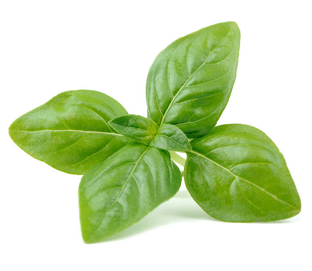 green basil isolated on white background - basil stock photos and pictures