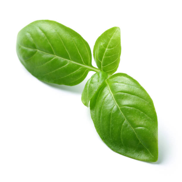 Green basil leaves isolated on white Green basil leaves isolated on white background basil stock pictures, royalty-free photos & images