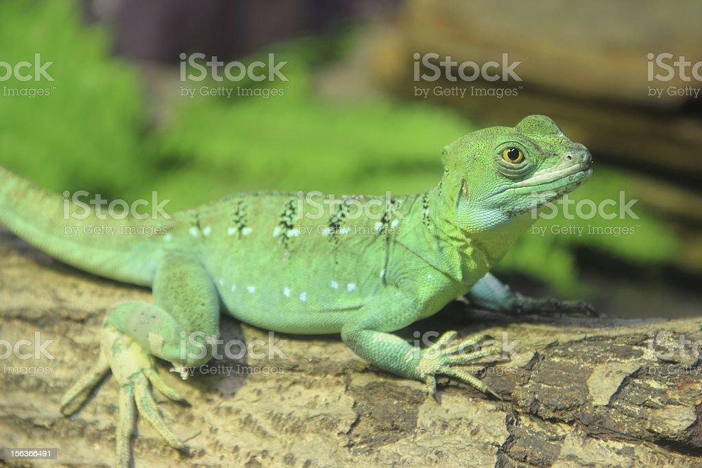 Green Basilisk Lizard royalty-free stock photo