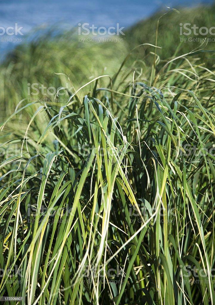 Green Beach Grass royalty-free stock photo