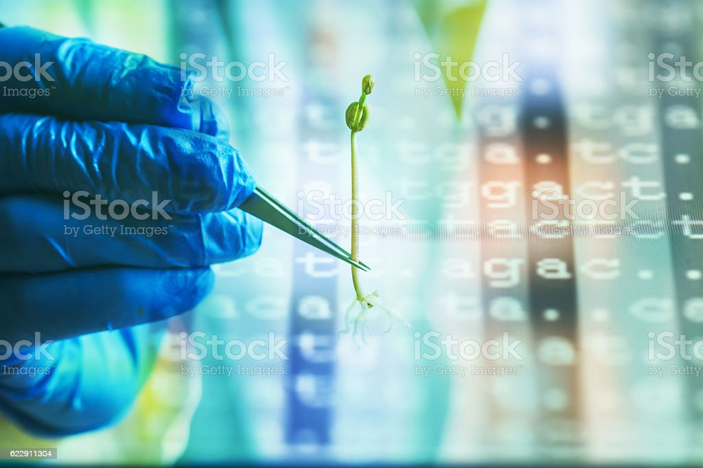 green bean sapling hold by tweezer stock photo