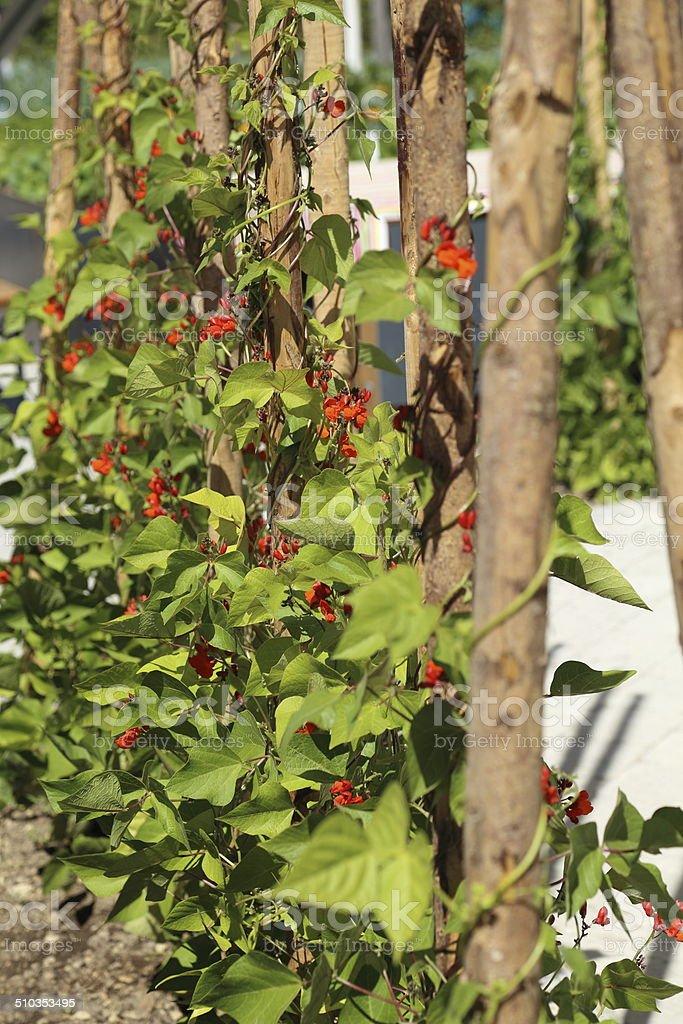 Green beans in the garden stock photo