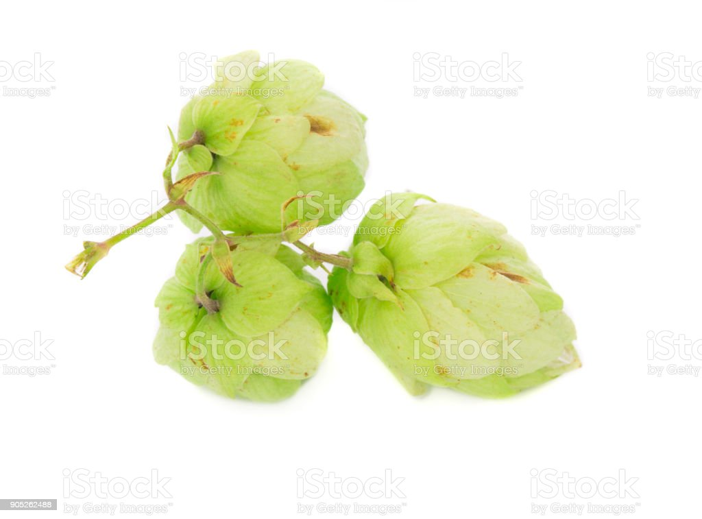 Green beautiful hops. stock photo