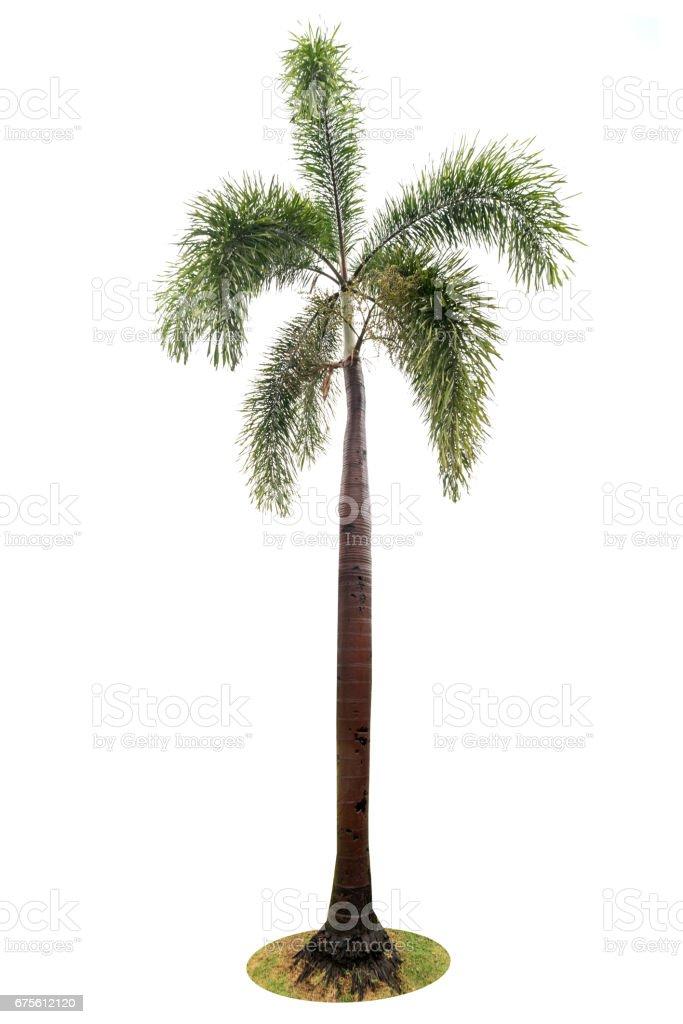 Vert magnifique palmier isolé sur fond blanc photo libre de droits