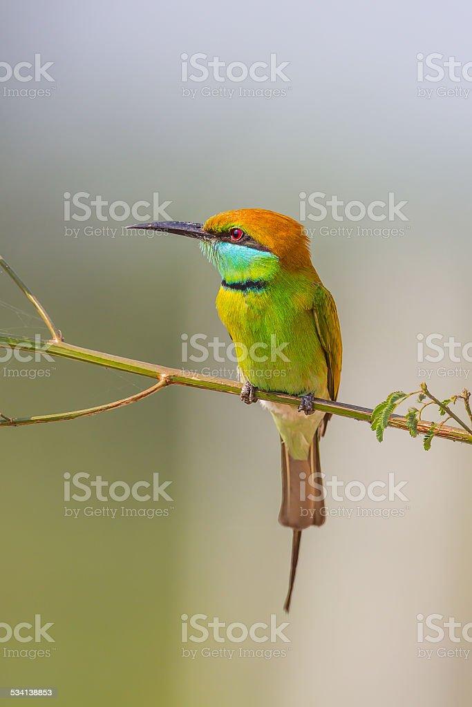 Green Bee - eater(Merops orientalis) stock photo