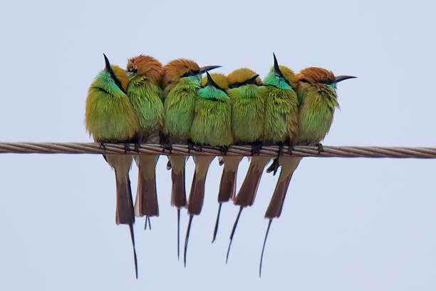 Green Bee eater sitting on the electric wire in the winter season Green Bee eater sitting on the electric wire in the winter season yala stock pictures, royalty-free photos & images