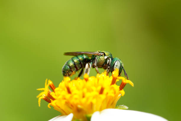 Green bee on flower stock photo