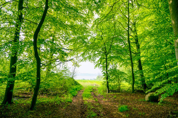 Green beech forest in the spring with a nature trail stock photo
